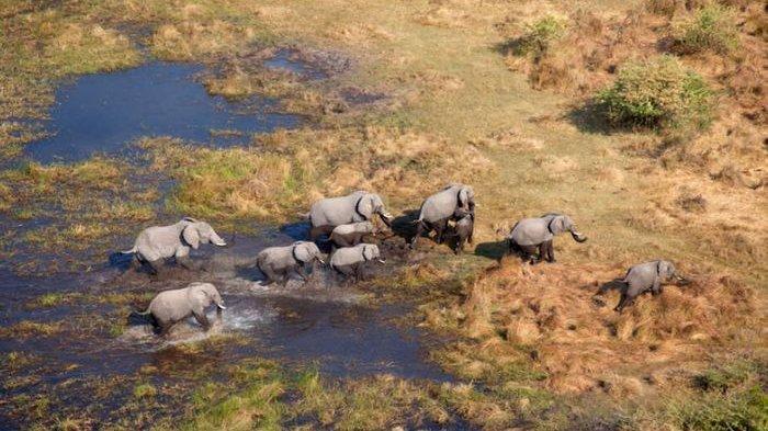 Miris, 154 Gajah Mati Misterius di Botswana, Ini Kata Petugas Setempat