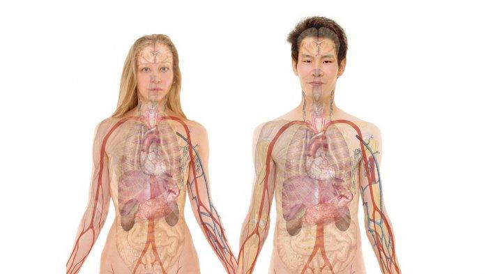 Berbagai Macam Organ Peredaran Darah Pada Manusia Beserta Fungsinya