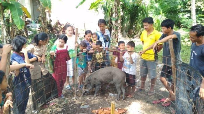 Babi Aneh Buntuti Warga, Saat Diusir Malah Menangis, Mau Tidur Bila Disediakan Bantal dan Selimut
