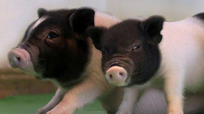 Warga Ungkap Keanehan Saat Kemunculan Babi Hutan di Pemukiman Warga, Sebut ada yang Mencari