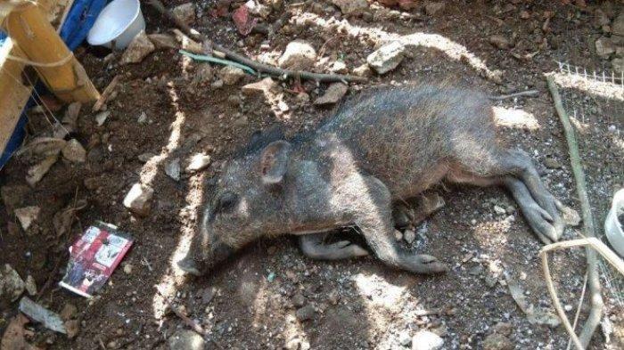 Foto : Babi yang diduga jadi-jadian buat heboh warga di Kelurahan Bedahan, Sawangan, Kota Depok.