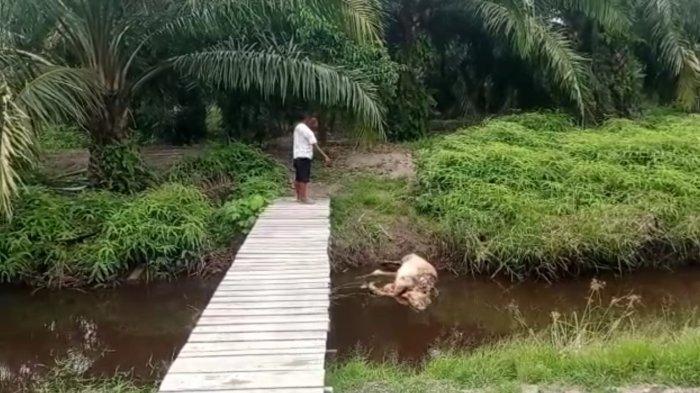 Harimau Masih Teror Warga Desa di Sadu Tanjabtim, Lima Ekor Ternak Sudah Jadi Korban