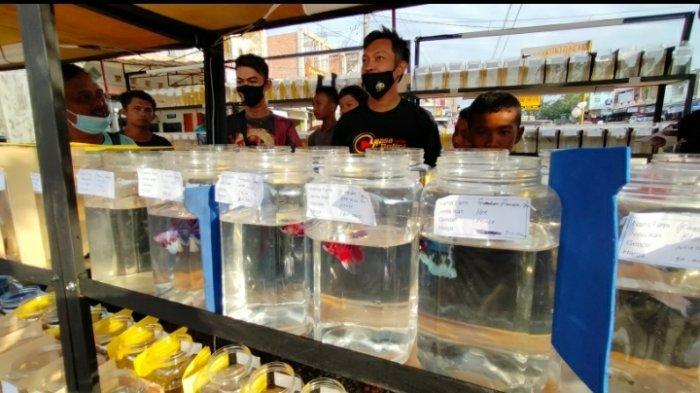 Bazar Ikan Cupang di Singkut Sarolangun, Jual Ikan Hingga 5 Juta Rupiah