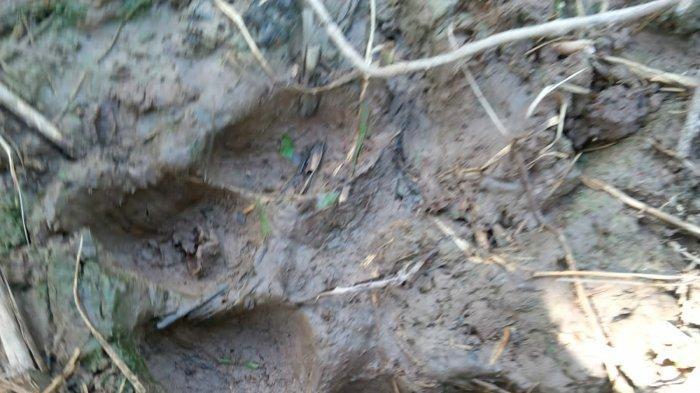 BKSDA Jambi Benarkan Adanya Laporan Harimau Masuk Kampung di Tanjabtim, Tapi Bukan di Berbak
