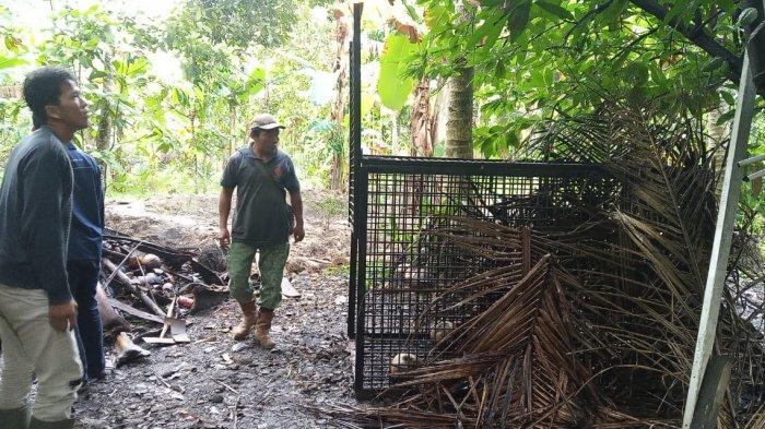 BKSDA Pasang Perangkap Besar Untuk Menjerat Beruang Yang Buat Resah Warga Desa Rantau Rasau Dua