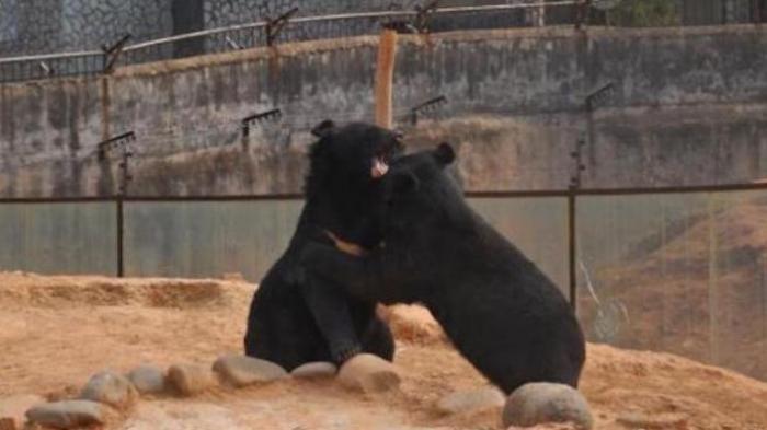 Diserang Tiga Ekor Beruang, Warga Batanghari Jambi Ini Lolos Dari Maut Kendarai Sepeda Motor