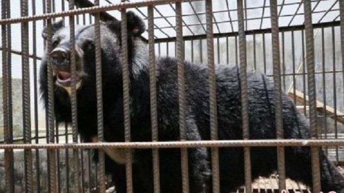 Atasi Serangan Beruang, Warga Desa Talang Paruh Diminta Waspada