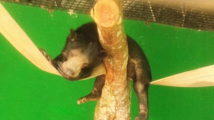 BKSDA Jambi Siap Lepas Beruang Madu dan Satwa Sangat Langka Kucing Tandang Bulan Ini
