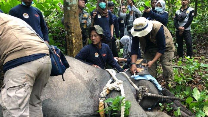 Perjuangan BKSDA Jambi Kembalikan Anak Gajah yang Tersesat ke Kelompoknya di Tebo