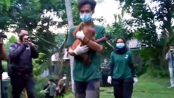 BKSDA Provinsi Jambi terima sepasang orang utan Sumatera (Pongo Abelli) dari BKSDA Bengkulu-Lampung.