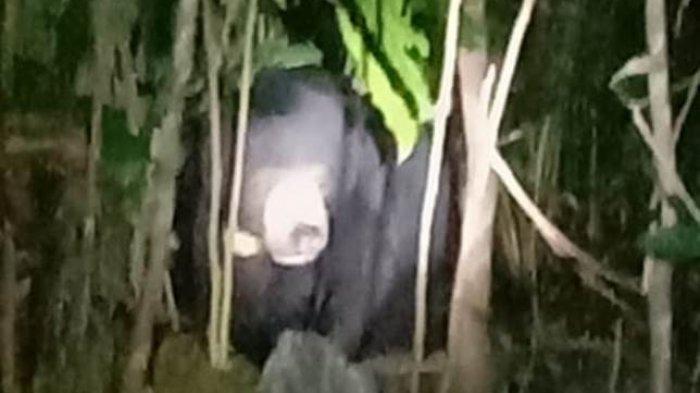 BKSDA segera memasang perangkap untuk menjerat beruang yang muncul di pemukiman Desa Rantau Rasau Dua.