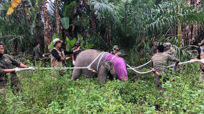 Gajah Umur 4 Tahun di Tanjabbar Dievakuasi ke Tebo, di Perjalanan Kondisinya Begini