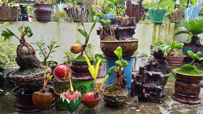 Makin Pendek Makin Mahal,Bisnis Bonsai Kelapa Makin Diminati