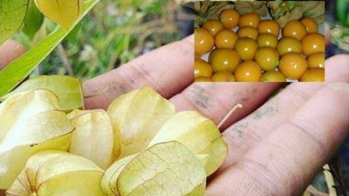 buah-ciplukan-n.jpg