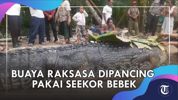 BERITA POPULER Tribun Jambi, dari Buaya Raksasa Ikuti Nelayan s/d Penangkapan Perampok Emas 2,5 Kg