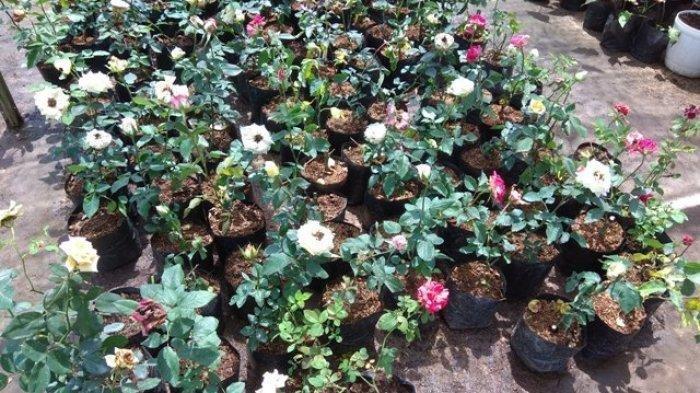 Banyak Diburu Dan Jadi Koleksi Tanaman Hias Rumahan Pamor Bunga Mawar Naik Lagi Tribun Jambi