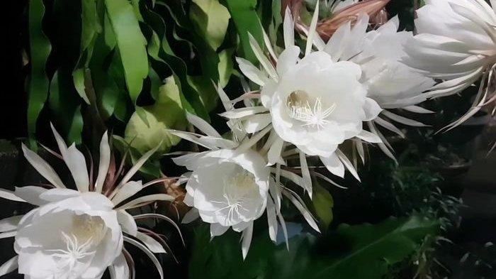 Cara Merawat Bunga Wijaya Kusuma yang Memiliki Julukan Queen of The Night, Hanya Mekar Saat Malam