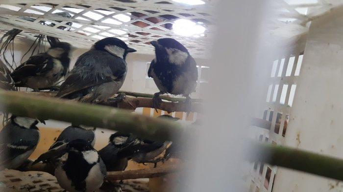 Burung Gelatik Batu Jambi Diselundupkan dari Riau Tujuan Lampung