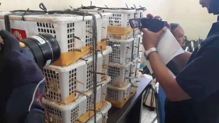 BREAKING NEWS Ratusan Ekor Burung Gelatik Batu Diselamatkan BKSDA Jambi, Penyelundupan