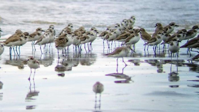 Burung migran saat berada di Pantai Cemara di Kecamatan Sadu, Kabupaten Tanjung Jabung Timur.