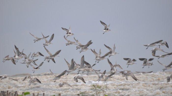 Menjaga Populasi Burung Migran, Pantai Cemara di Pantai Timur Tanjabtim, akan Ditetapkan Sebagai KEE