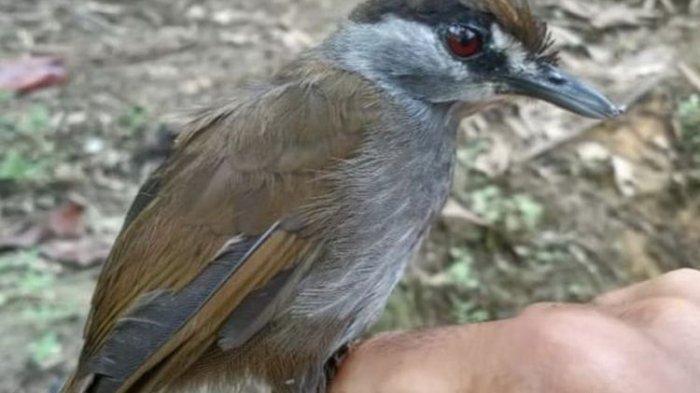 Menakjubkan, Burung Pelanduk Kalimantan Akhirnya Ditemukan di Hutan Kalsel, Setelah 172 Tahun Hilang