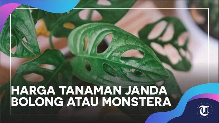 Video Daftar Harga Tanaman Janda Bolong Atau Monstera Di Tokopedia Shopee Bukalapak Cara Rawat Halaman 2 Tribun Jambi