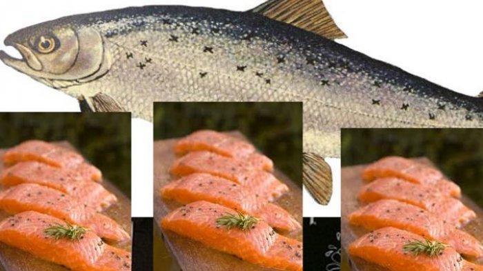 Daging ikan salmon.
