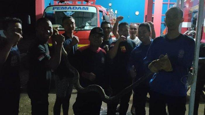 Petugas Damkar Tebo Evakuasi Ular Sanca Sepanjang 2,5 Meter Dari Kandang Ayam Asril