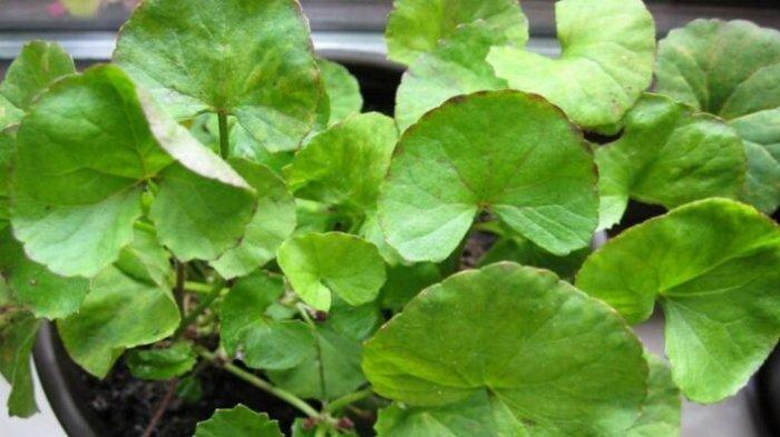 Resep Obat Herbal Alami Untuk Daya Tahan Tubuh dari Pegagan