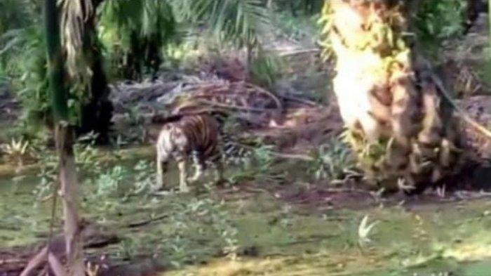 Camat Maro Sebo Ilir Gali Informasi dari Warga Soal Penampakan Harimau yang Masuk Kebun Sawit