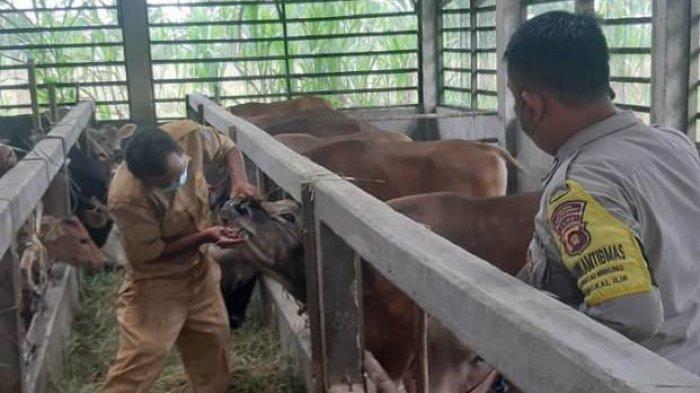 Ratusan Hewan Kurban di Bungo Siap Dipotong, Dinas Peternakan Wanti-wanti Cacing Hati