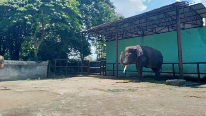 Sejak Kematian Yanti, Alfa Gajah di Taman Rimba Jambi Butuh Dukungan Psikologis