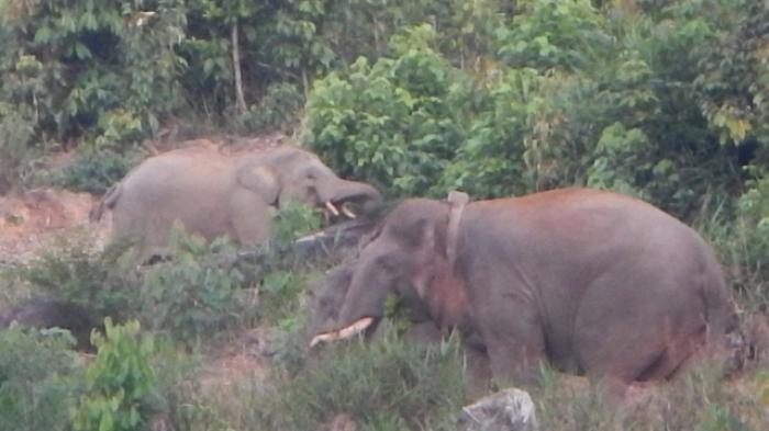 Niat Hati Ingin Mengusir Gajah Liar, Warga Mersam, Batanghari, Ini Malah Diserang dan Diinjak Gajah