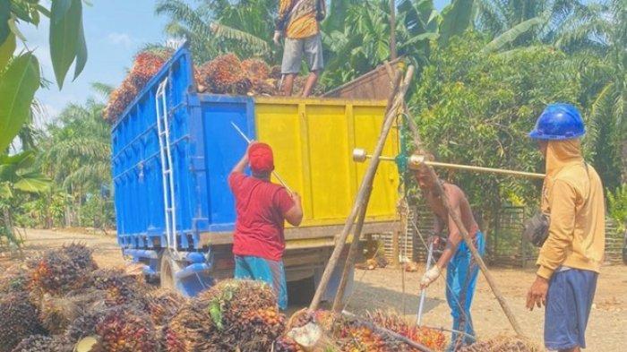 Naik Lagi, Harga CPO, Inti Sawit dan Harga TBS Sawit Provinsi Jambi Tembus Rp 2.500 per Kilogram