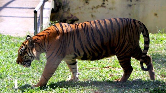 Taman Rimba Zoo Jambi akan Datangkan Harimau Sumatera dari Bukit Tinggi