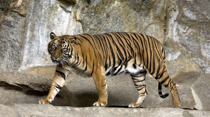 KISAH Harimau Sakit Gigi Datangi Desa Minta Pertolongan Manusia: Nasib 'Raja Hutan' Berakhir Tragis