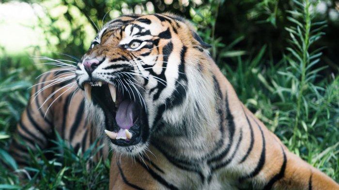 Diduga Dimangsa Harimau, Tubuh Warga Pagaralam Ini Hanya Tersisa Kaki, Isi Perut Habis