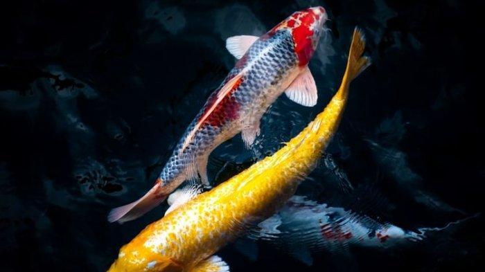 Rekomendasi Ikan yang Dipercaya Membawa Keberuntungan, Ada Ikan Koi dan Ikan Dewa
