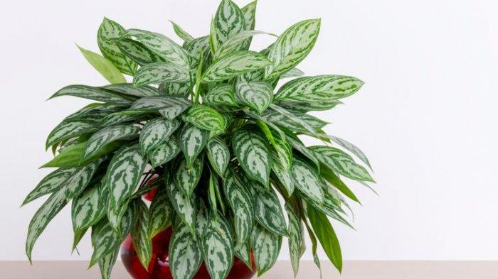 Ilustrasi aglonema maria(SHUTTERSTOCK/DROPSTOCK)