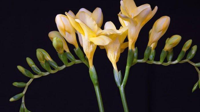 Cara Merawat Bunga Freesia, Simbol Kemurnian dan Kepercayaan