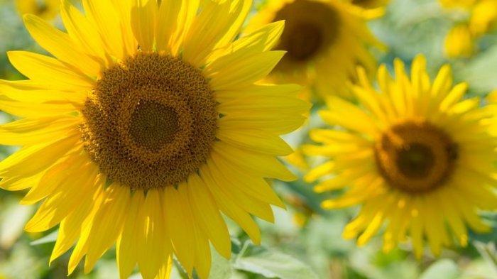 Cara Merawat Bunga Matahari di Media Pot, Cukup Air dan Rutin Menyirami