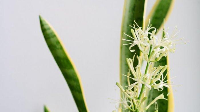 Ilustrasi bunga pada tanaman lidah mertua.