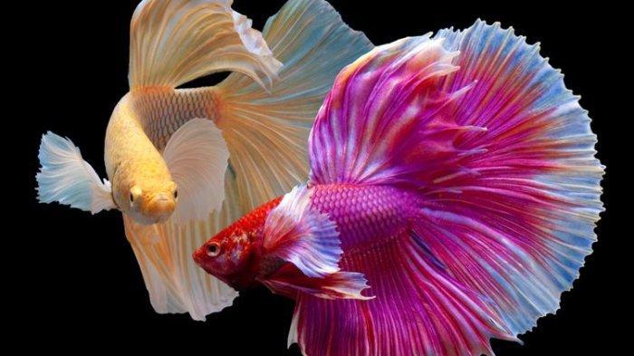 Ilustrasi ikan cupang halfmoon.
