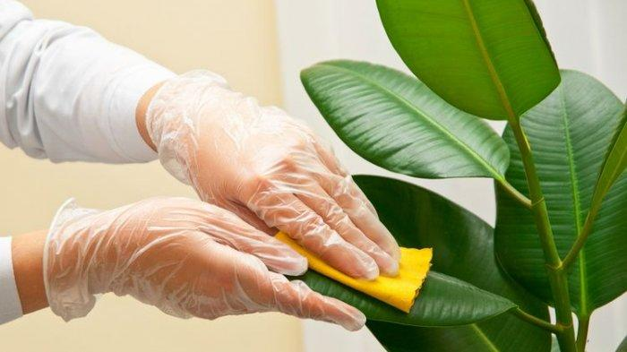 Ilustrasi membersihkan daun tanaman hias