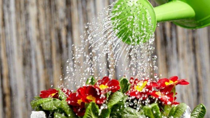 Ilustrasi menyiram tanaman hias.