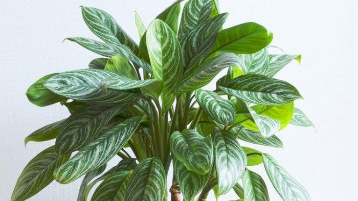 Ilustrasi tanaman hias Aglonema Brilliant