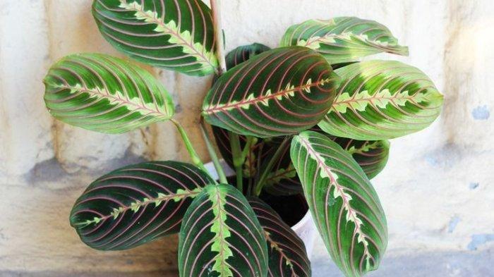 Ilustrasi tanaman hias calathea.
