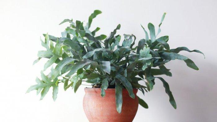 Ilustrasi tanaman hias Phlebodium aureum atau blue star fern