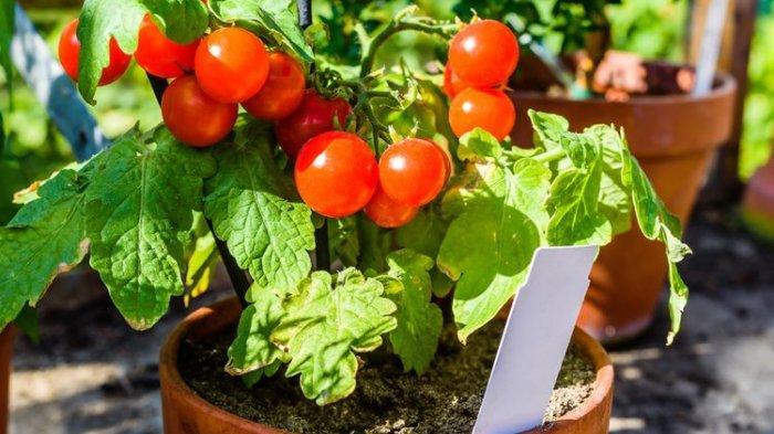 Cara Menanam Tomat Ceri di Rumah, Pastikan Terkena Sinar Matahari 6-8 Jam